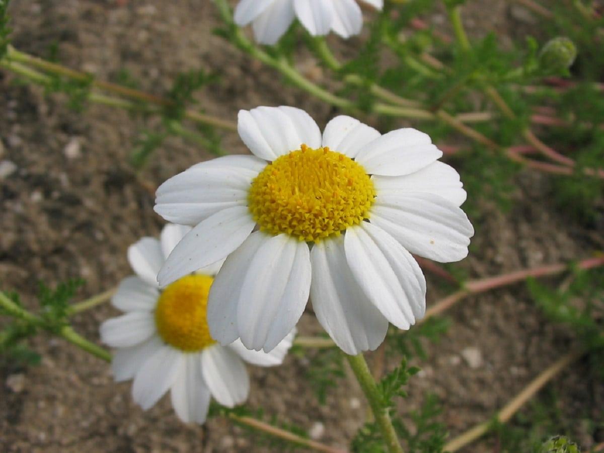 flor con petalos blancos de la Anacyclus clavatus