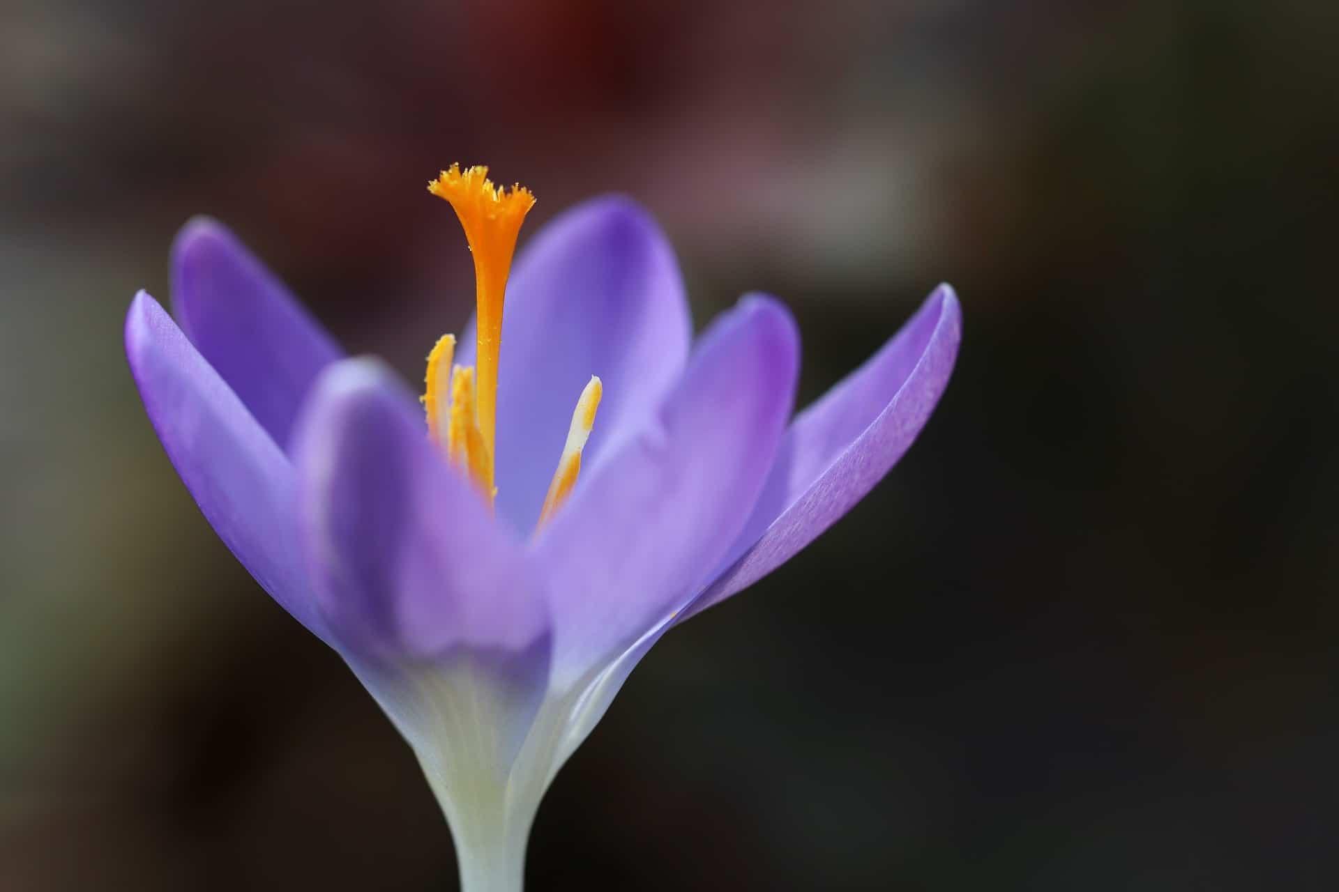 El pistilo de la flor de azafrán es anaranjado