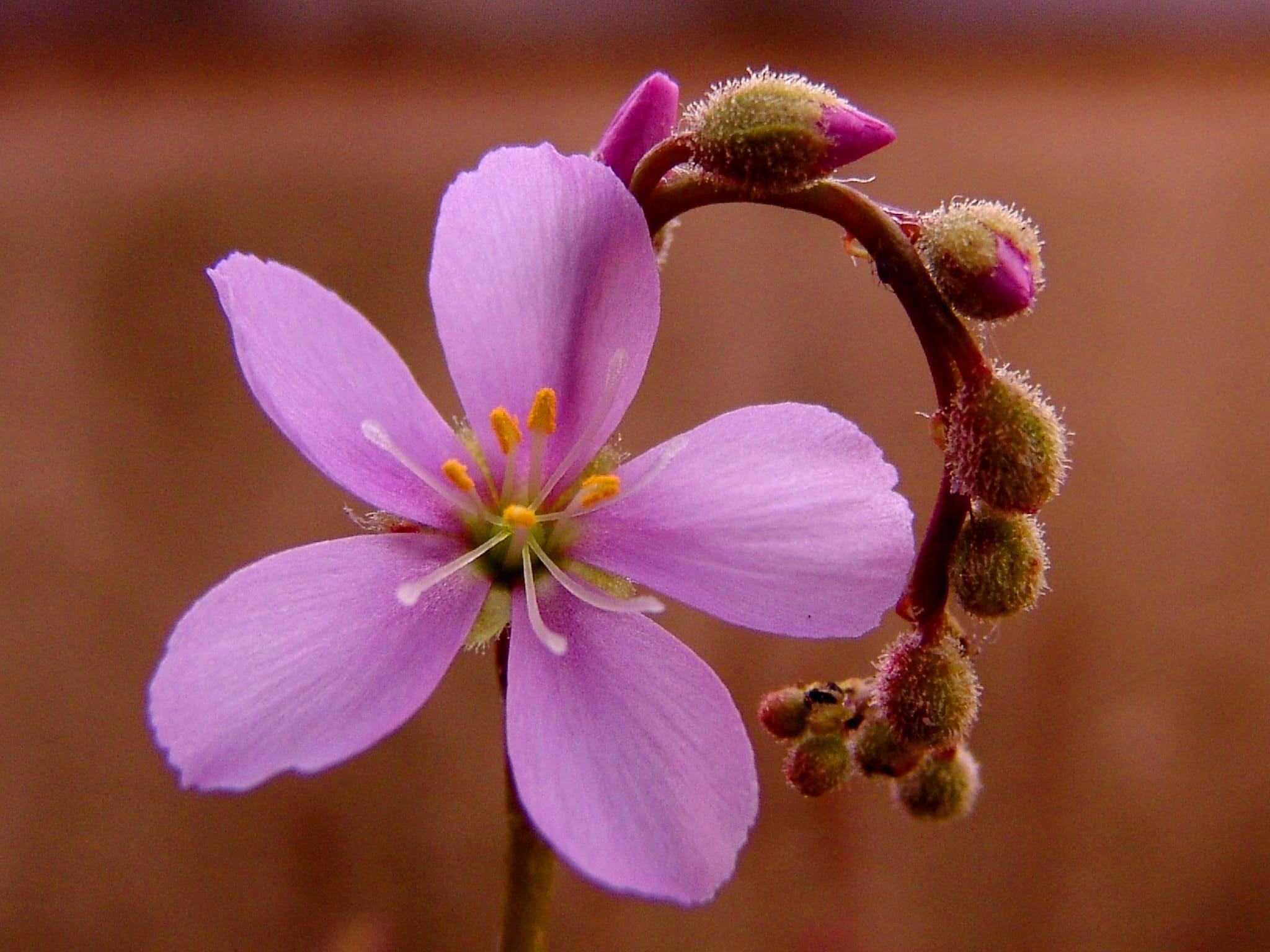 Las Droseras tienen estípites florales