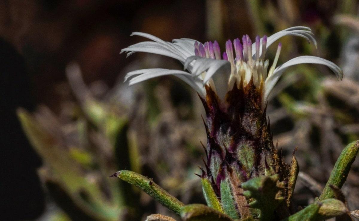 flor pina del mar o Atractylis preauxiana