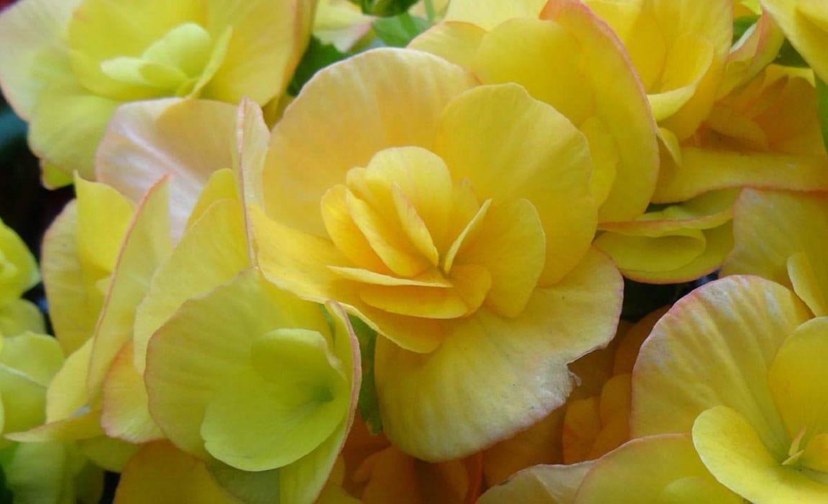 flores de begonia amarilla