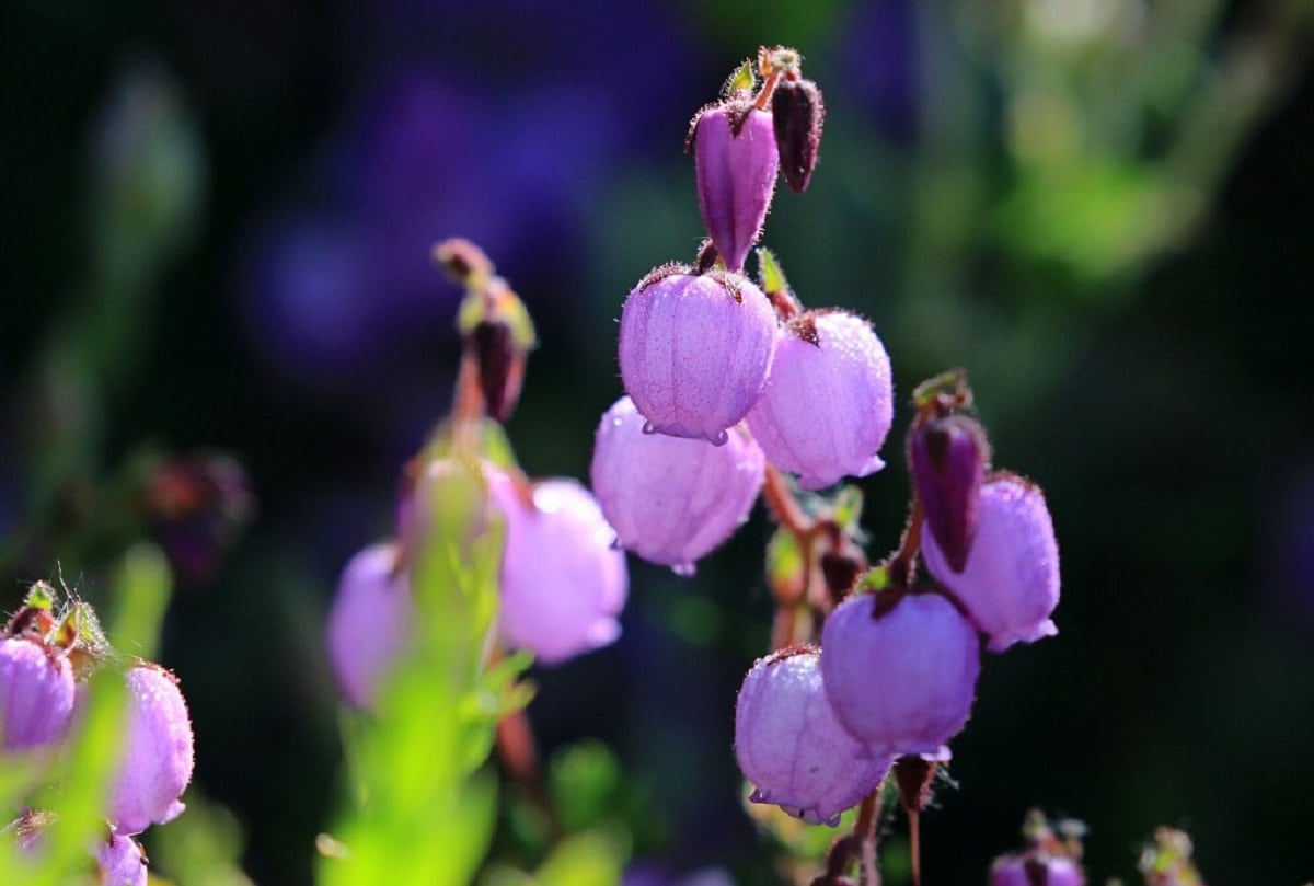 flores de cerca de la Daboecia cantabrica
