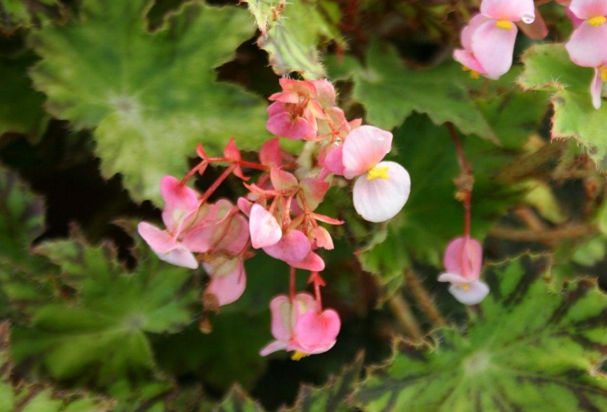 flores de color rosa de una begonia