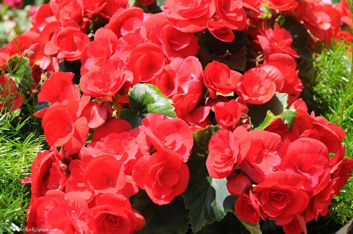 flores de la Begonia elatior