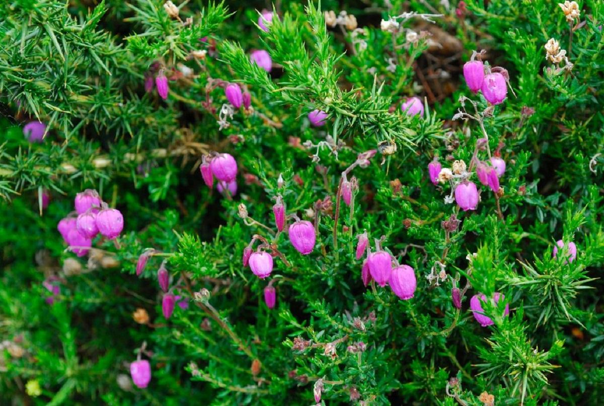 flores rosas de un arbusto para jardin