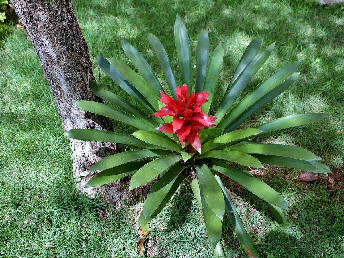 La Guzmania lingulata es una bromelia de flor roja