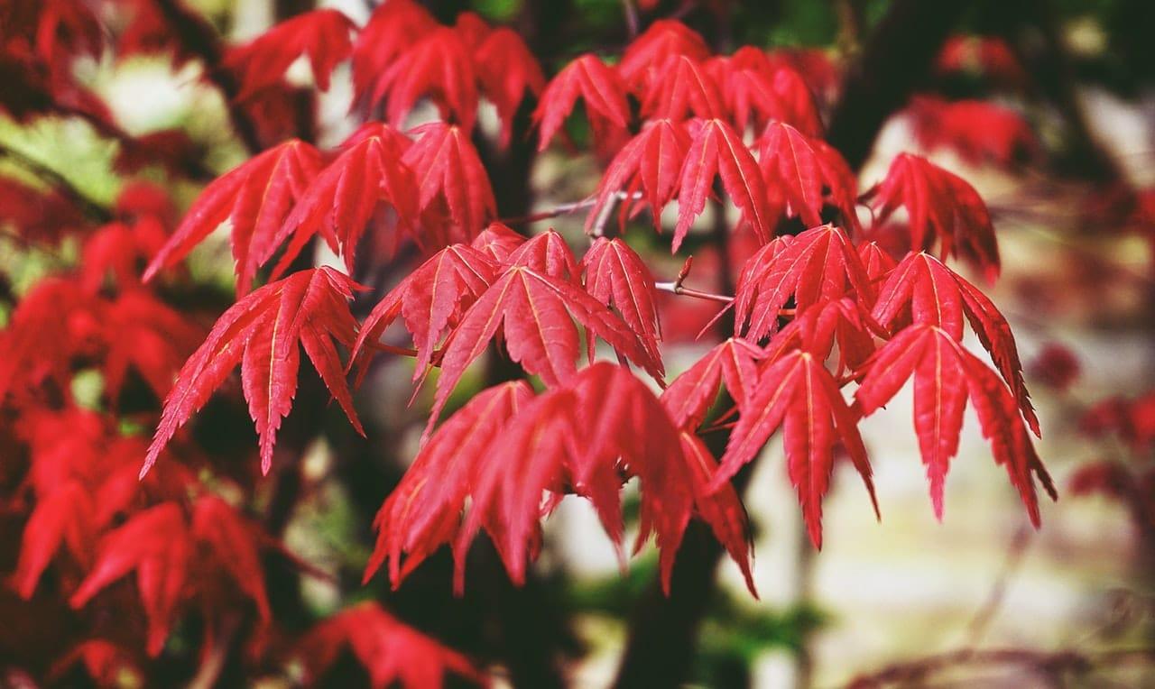 El arce japonés es una planta muy ornamental