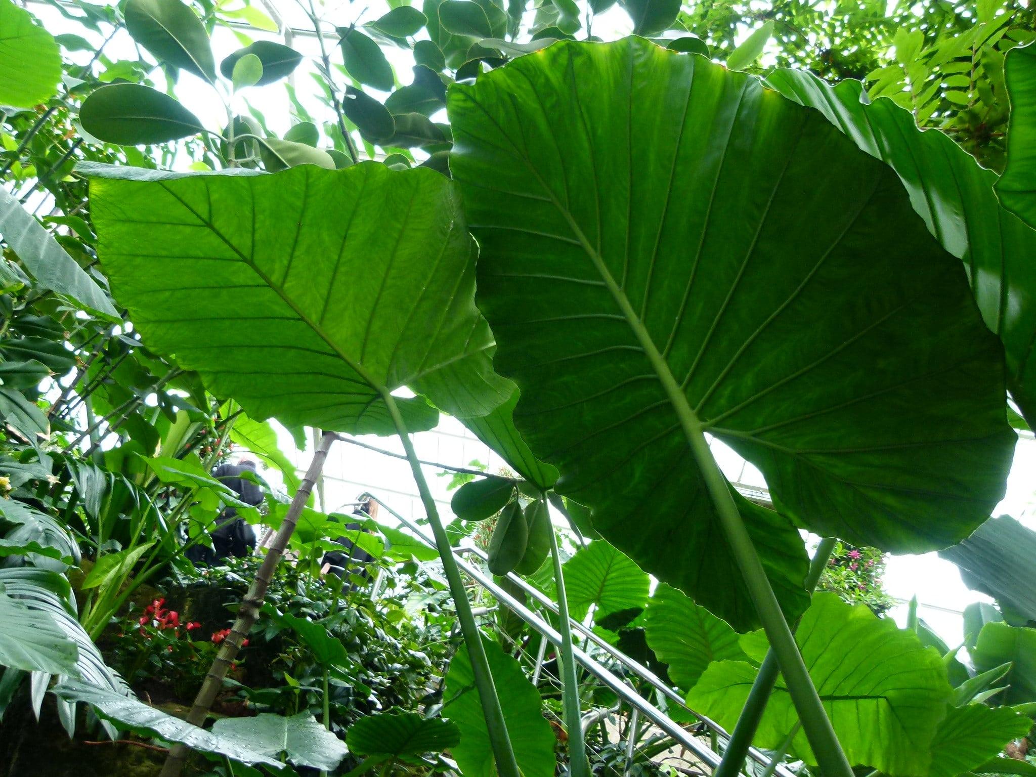 La Alocasia odora es una planta que resiste heladas