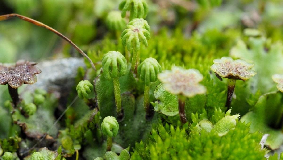 imagen Marchantia polymorpha planta subacuatica