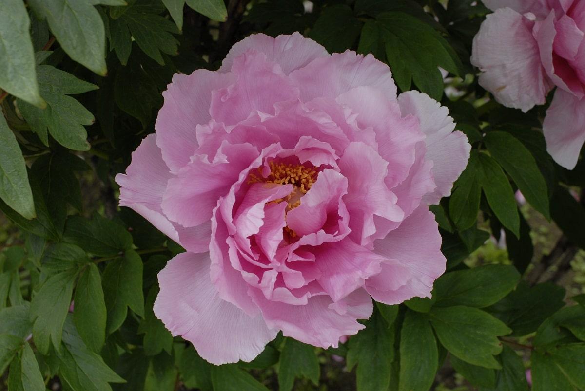 imagen de una flor rosa llamada Paeonia suffruticosa