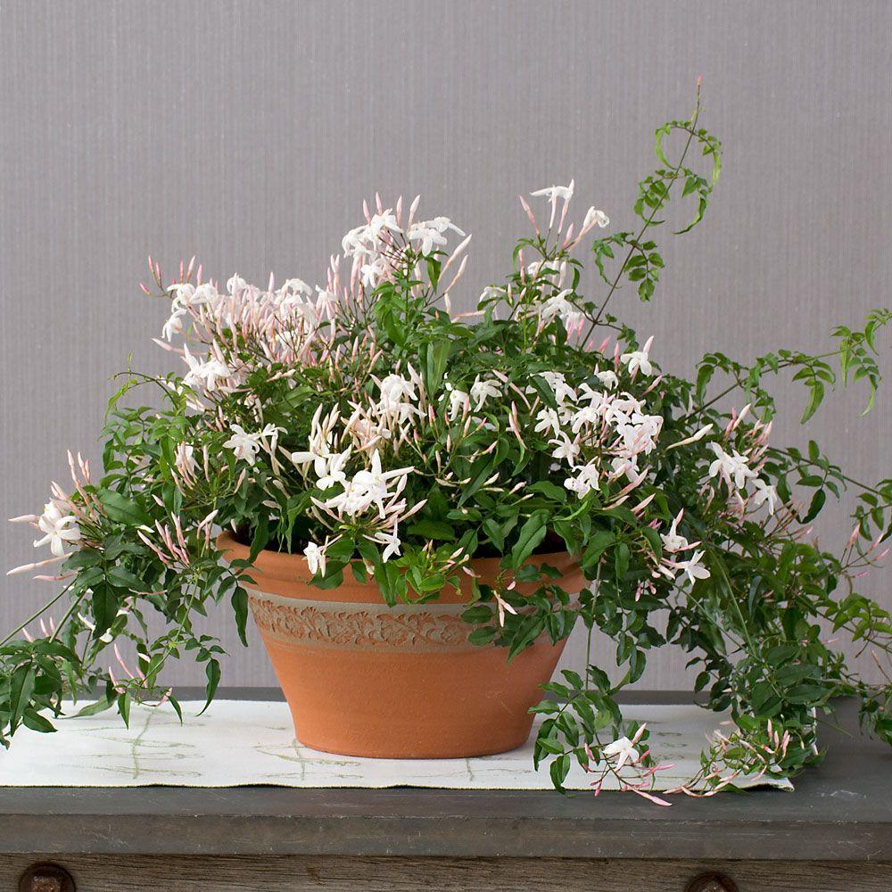El jazmín se puede cultivar en maceta