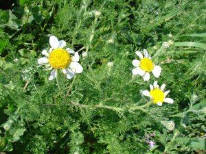 manzanilla la loca, una planta que crece de forma silvestre
