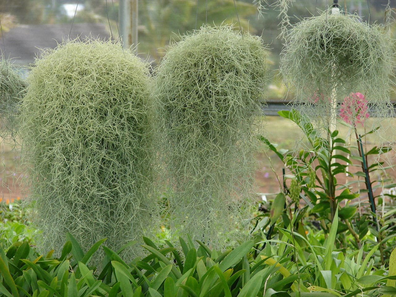 El musgo español es una bromelia epífita