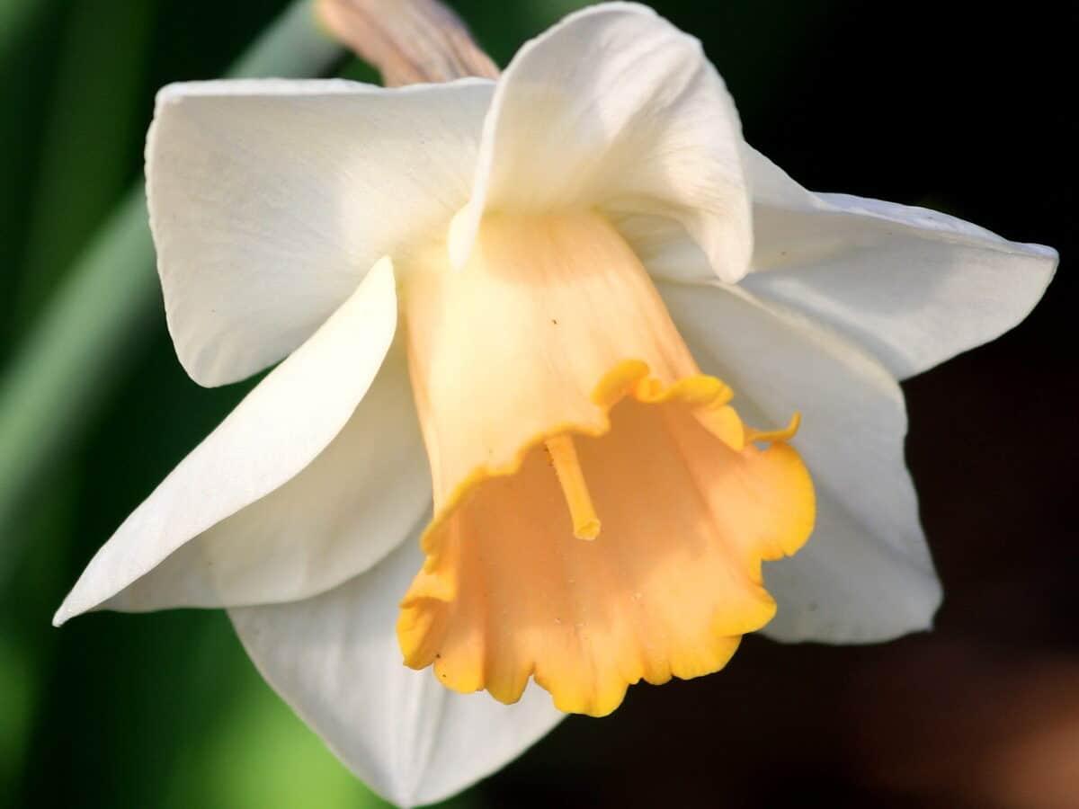 Los narcisos tiene flores que brotan en primavera