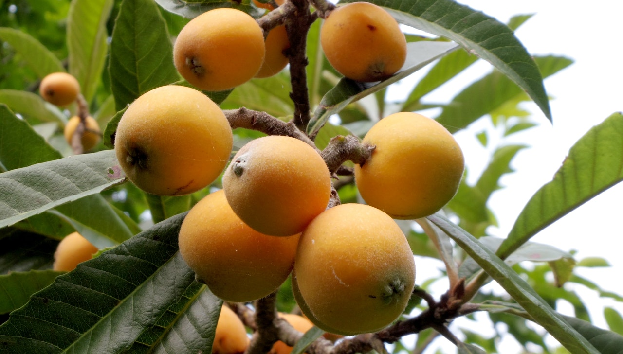 El níspero es un árbol frutal que se planta en primavera