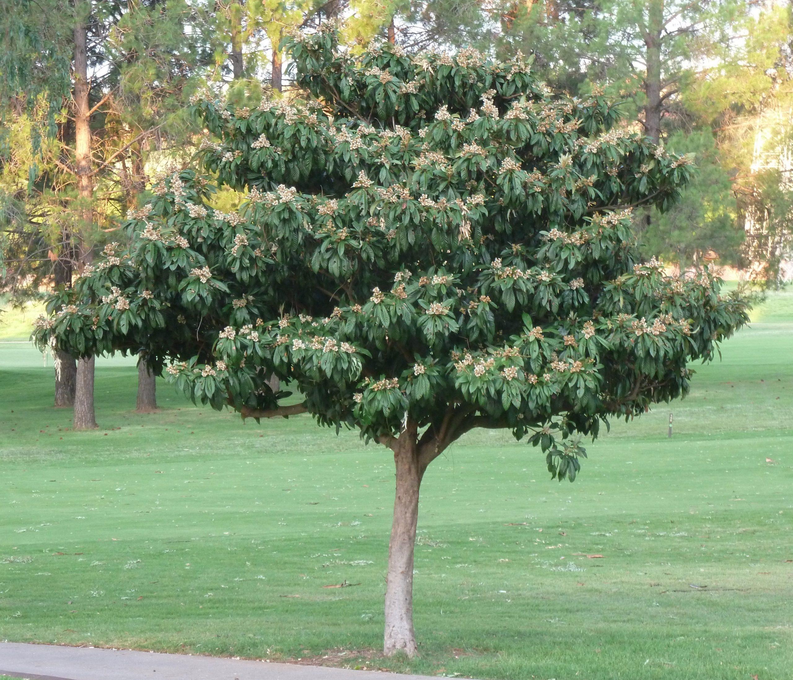 Los nísperos son árboles frutales