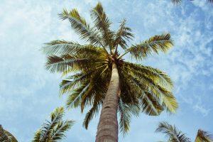 El tronco de una palmera se conoce como estípite