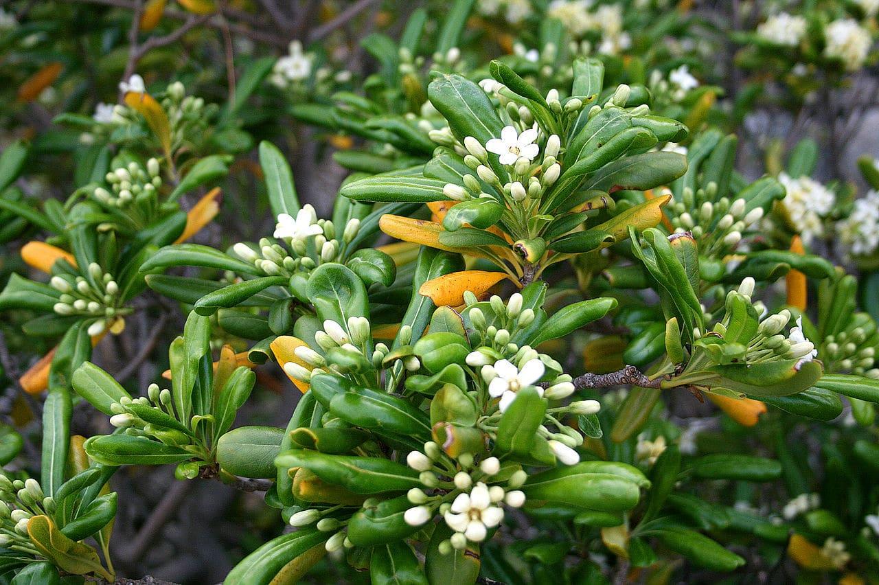 El Pittosporum tobira es un arbolito de hoja perenne
