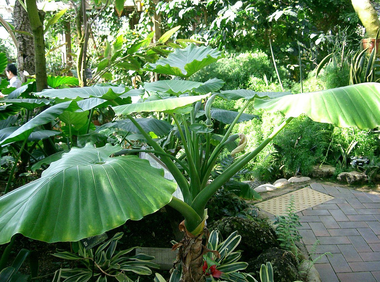 La Alocasia odora es una planta de hojas grandes