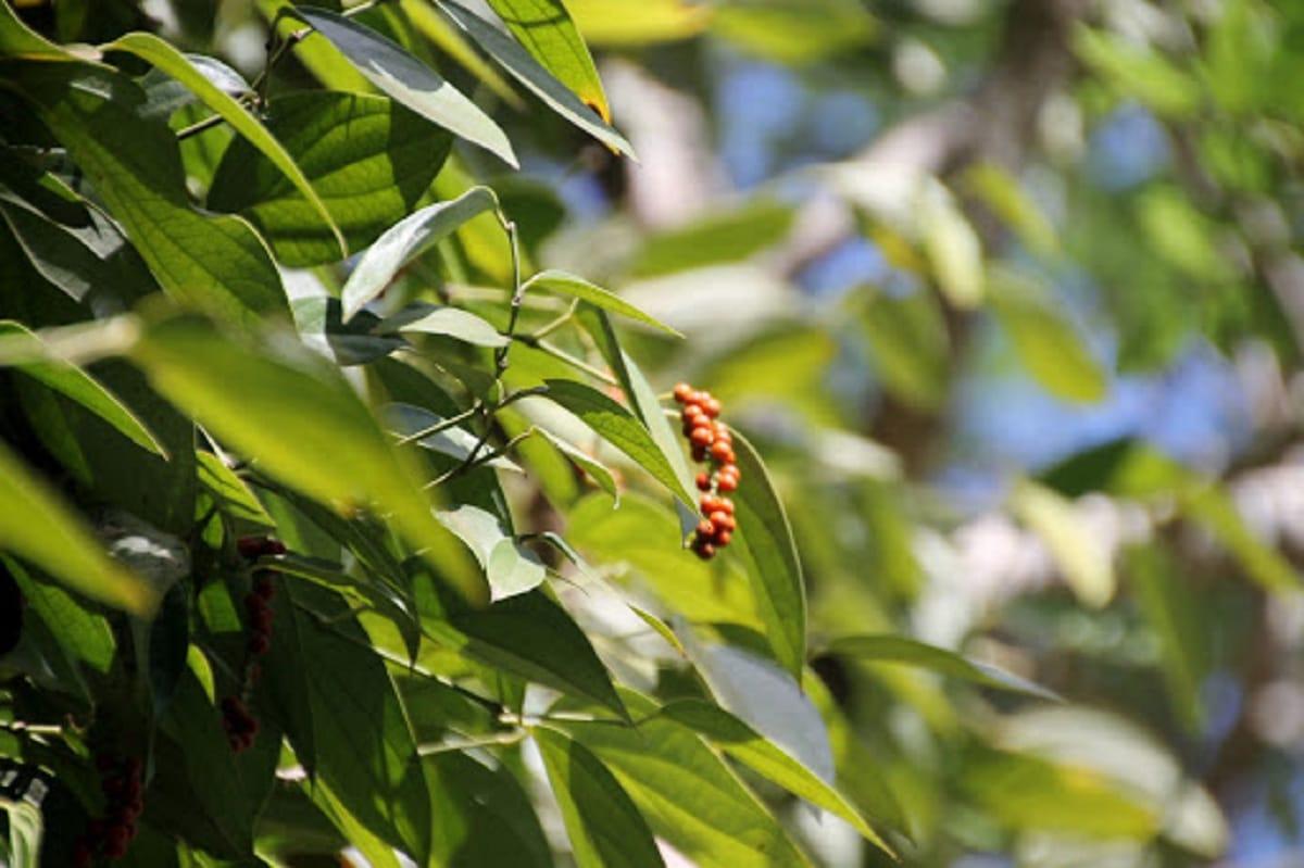 planta de la pimienta