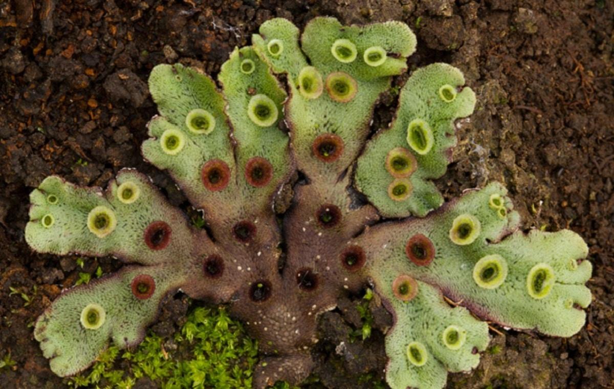 planta extrana llamada Marchantia polymorpha