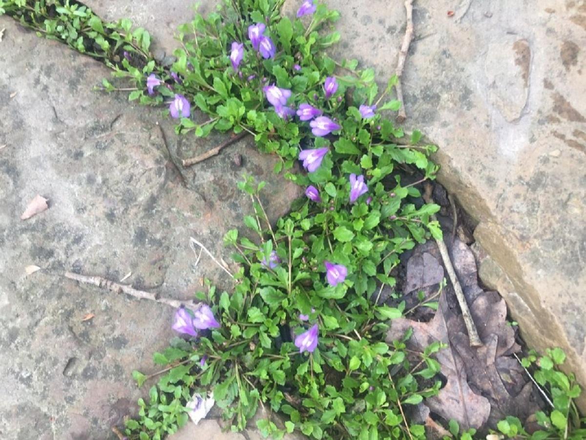 planta que va tapando el suelo por donde pasa