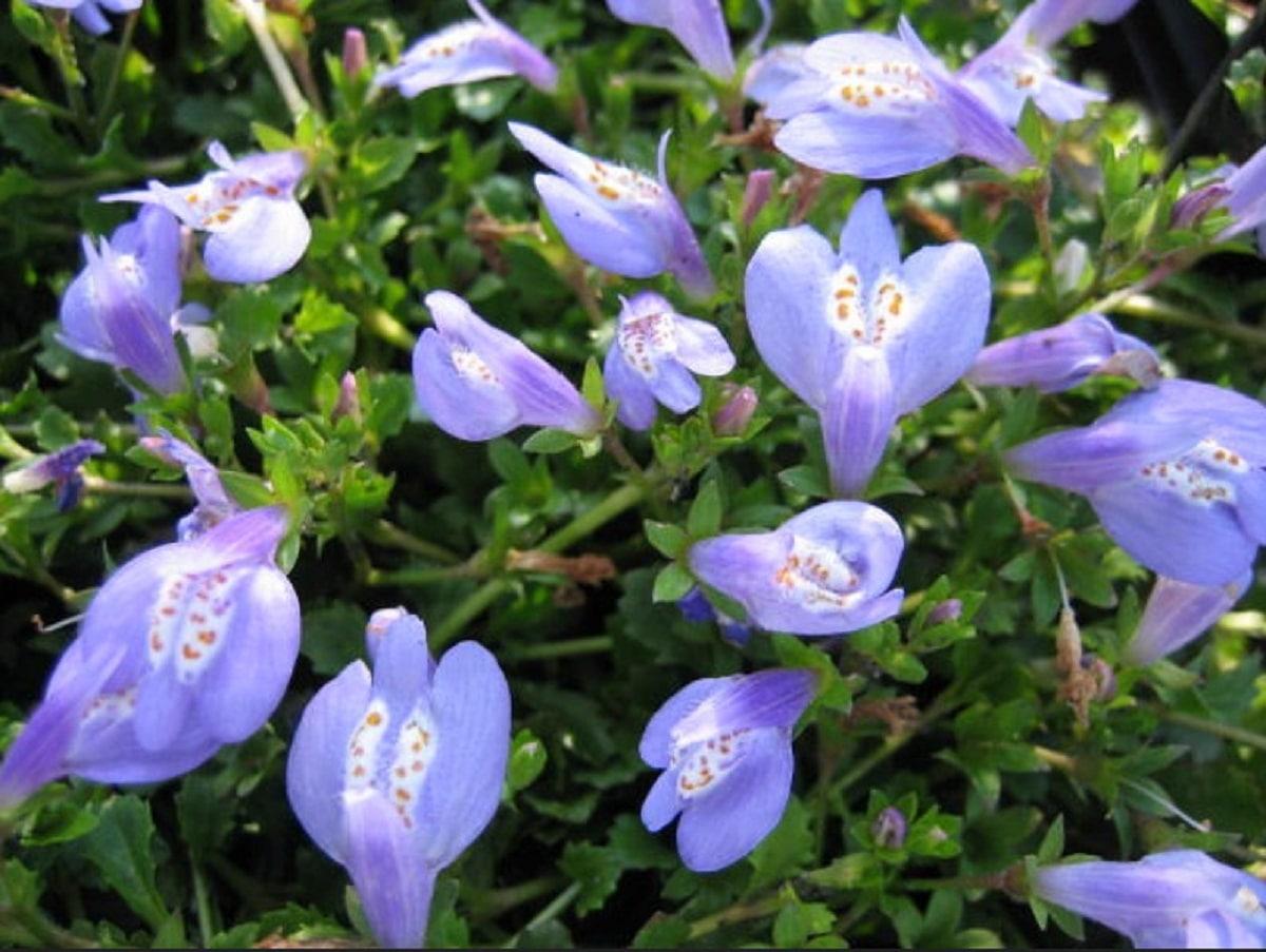planta tapizante llamada Mazus reptans