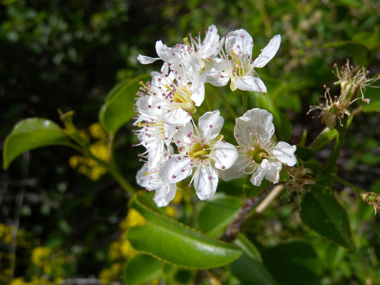 El Prunus mahaleb es un árbol caducifolio