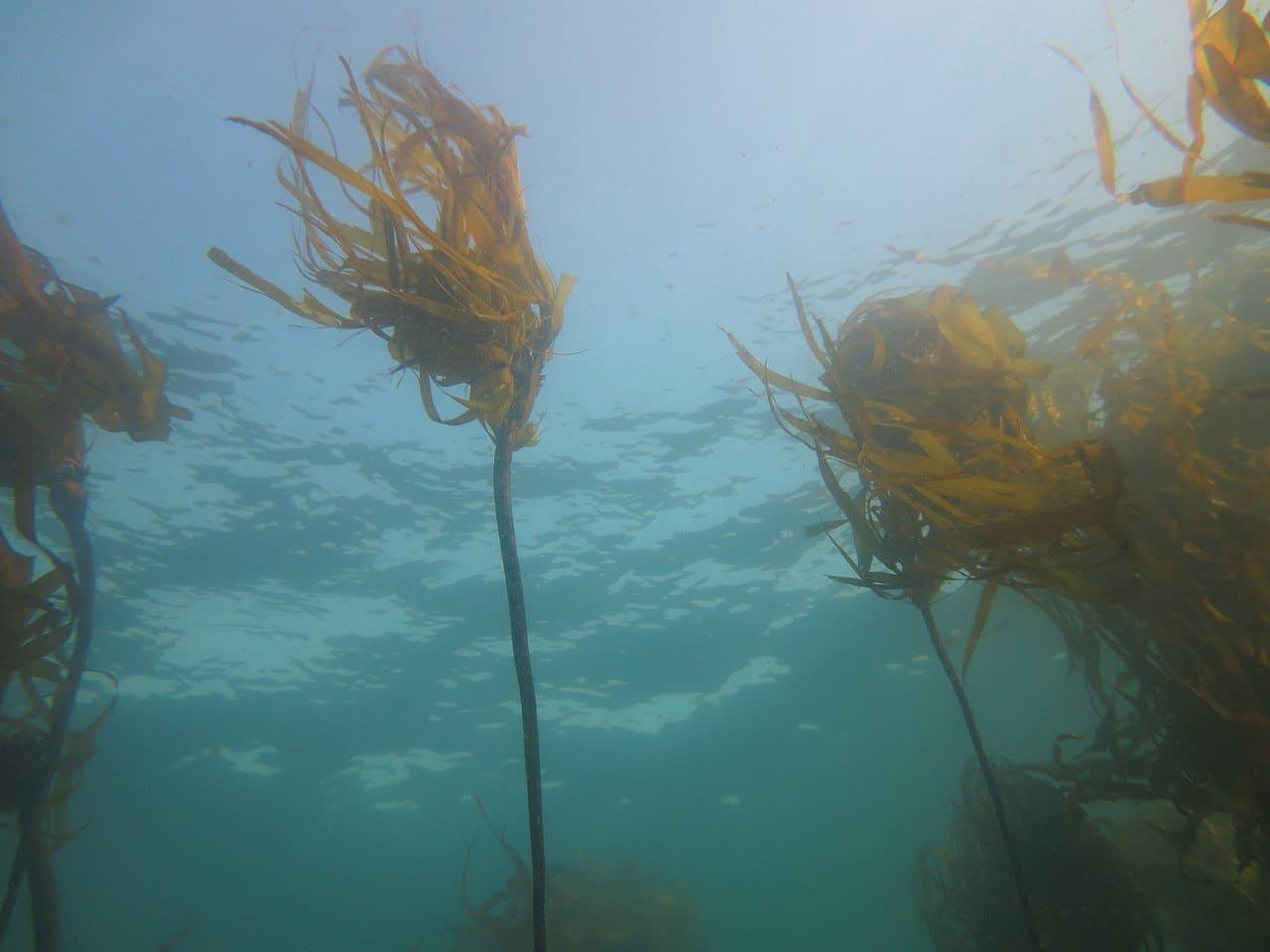 Las algas muy grandes tienen estípite