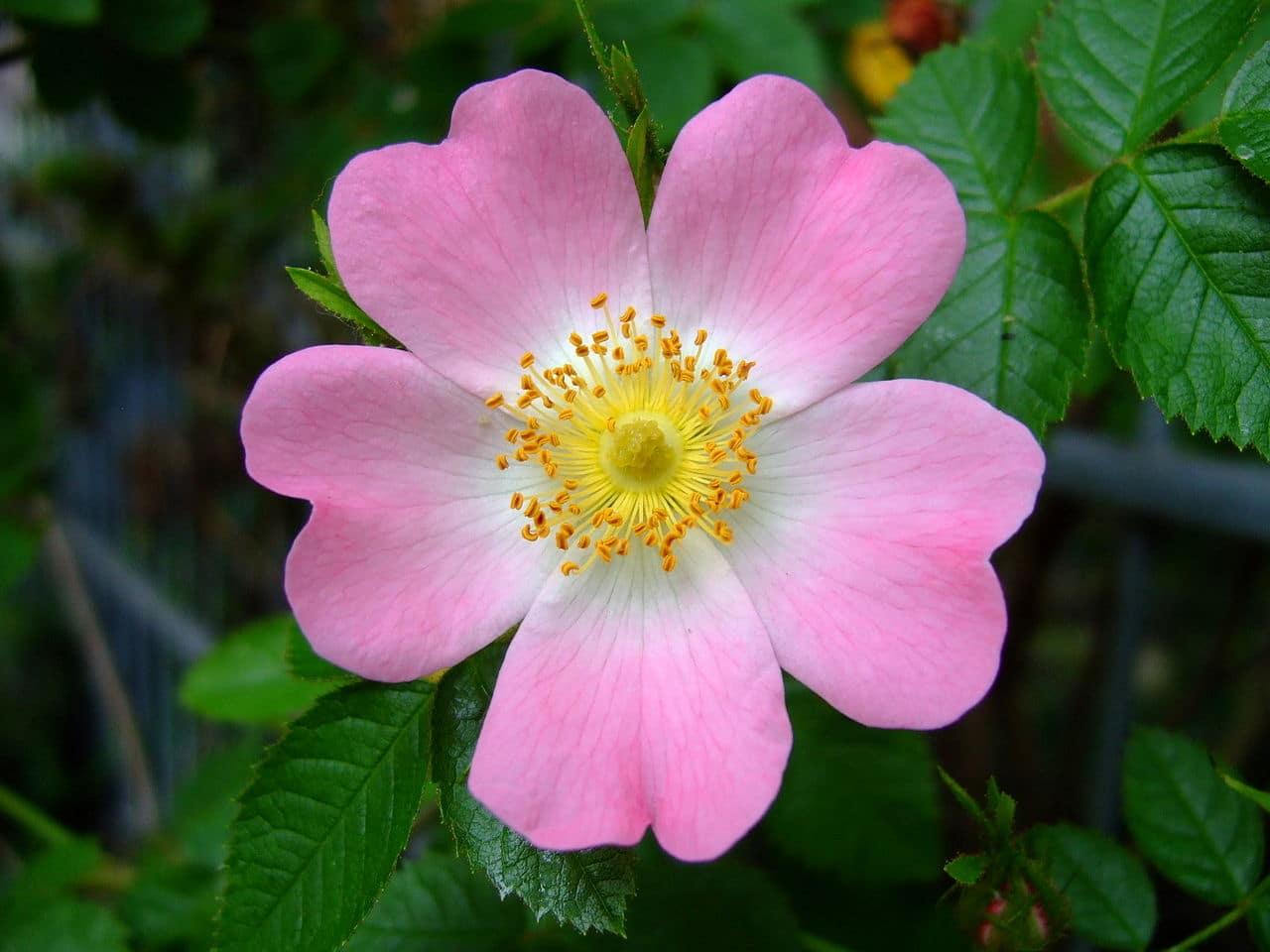 La Rosa canina tiene flores rosadas