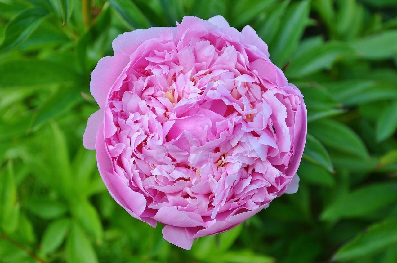 La Rosa damascena es un híbrido
