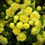 El rosal de pitiminí es una planta pequeña