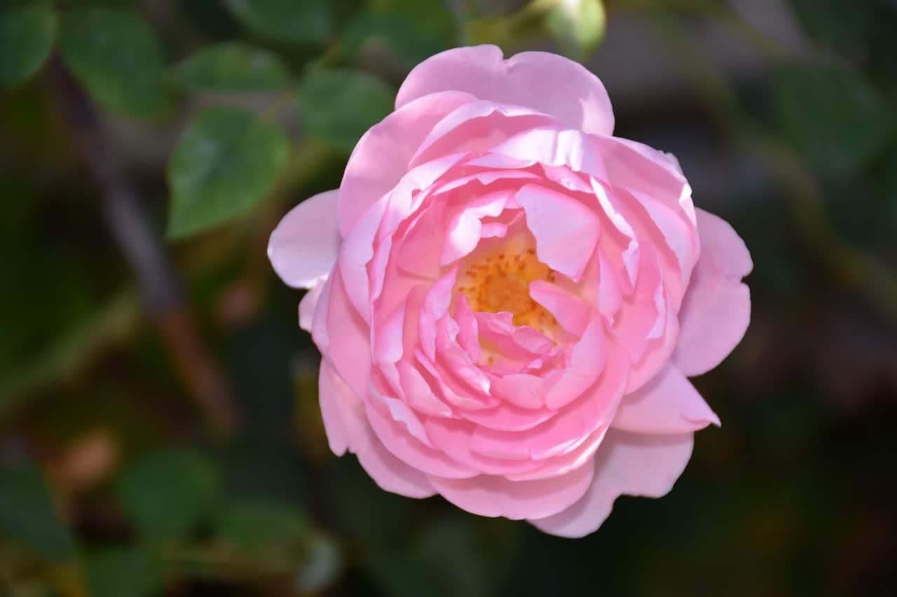 La rosa inglesa es una planta que produce flores rosas