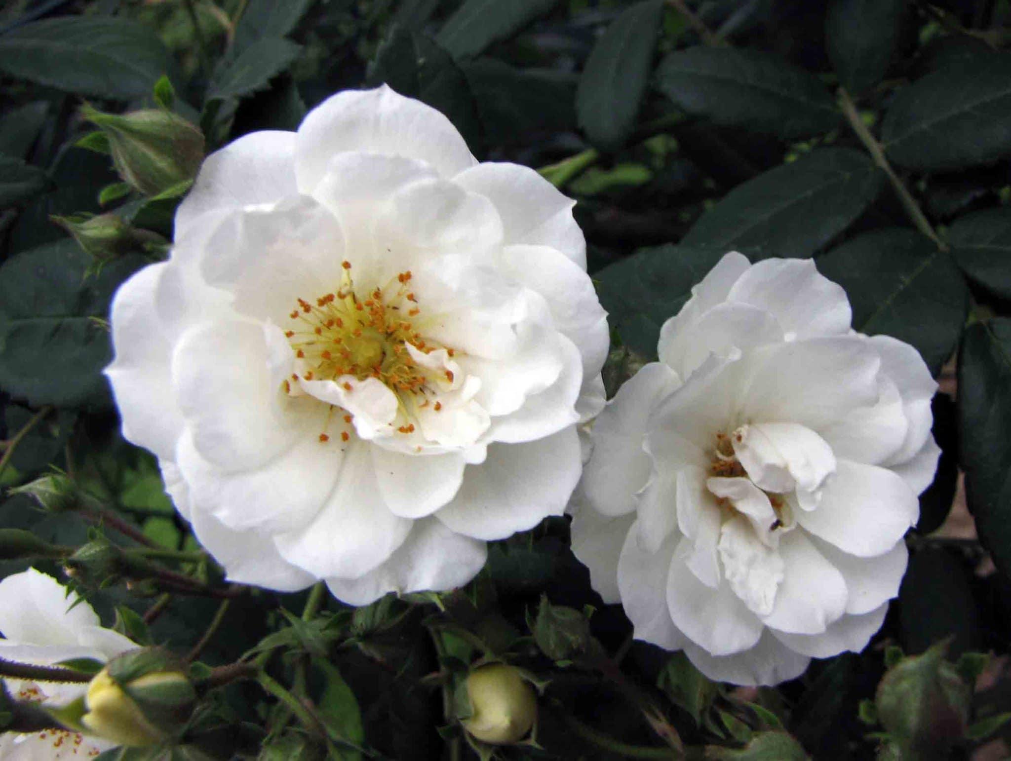 La Rosa moschata es un arbusto que produce flores blancas