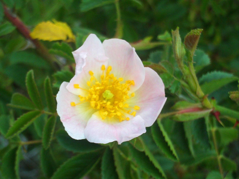 La Rosa rubiginosa es un arbusto espinoso