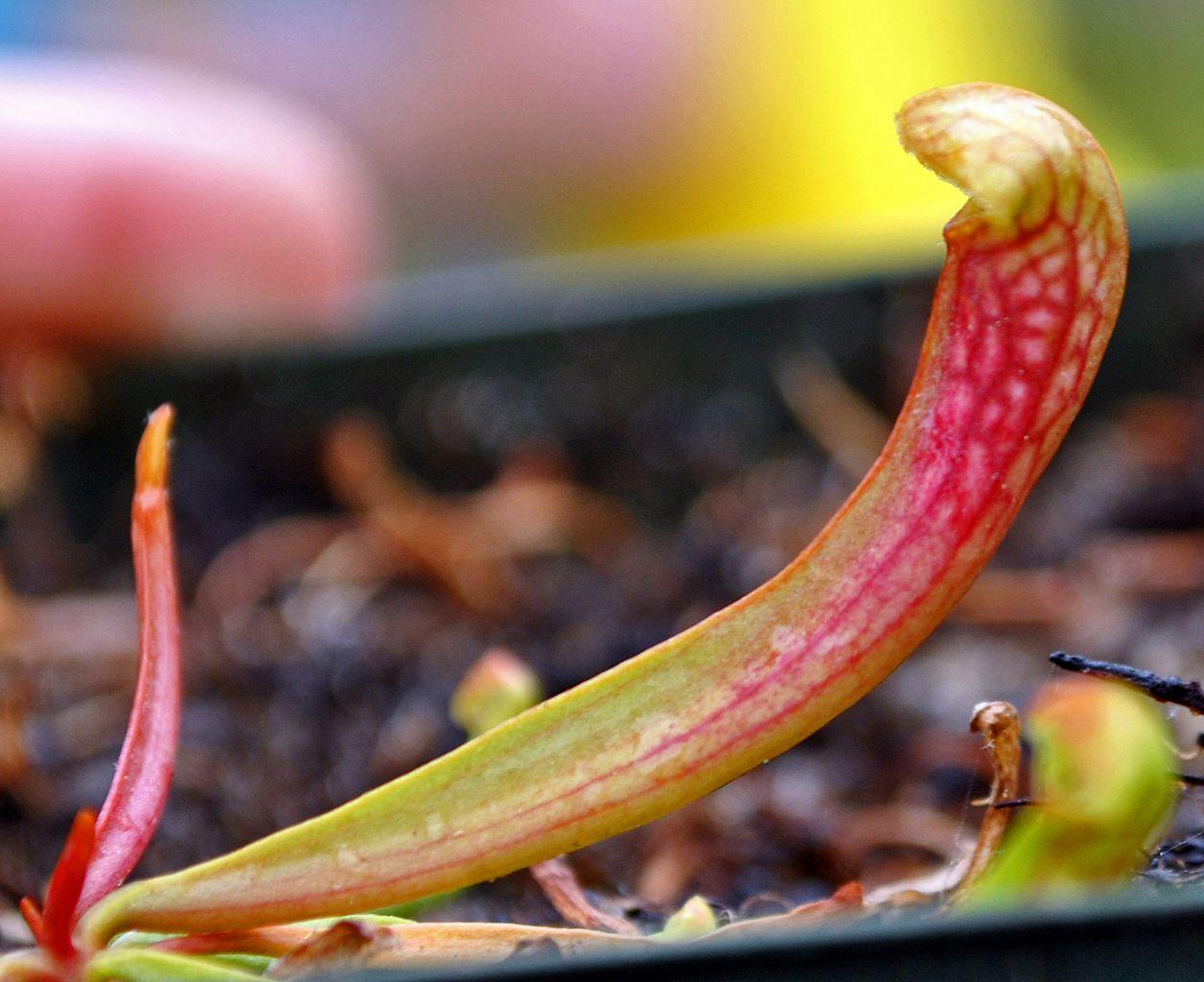 La Sarracenia se siembra en primavera-verano