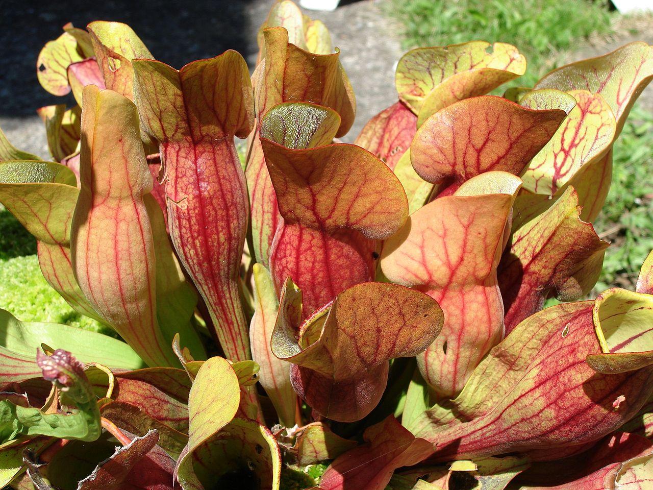 La Sarracenia purpurea es una carnívora rojiza