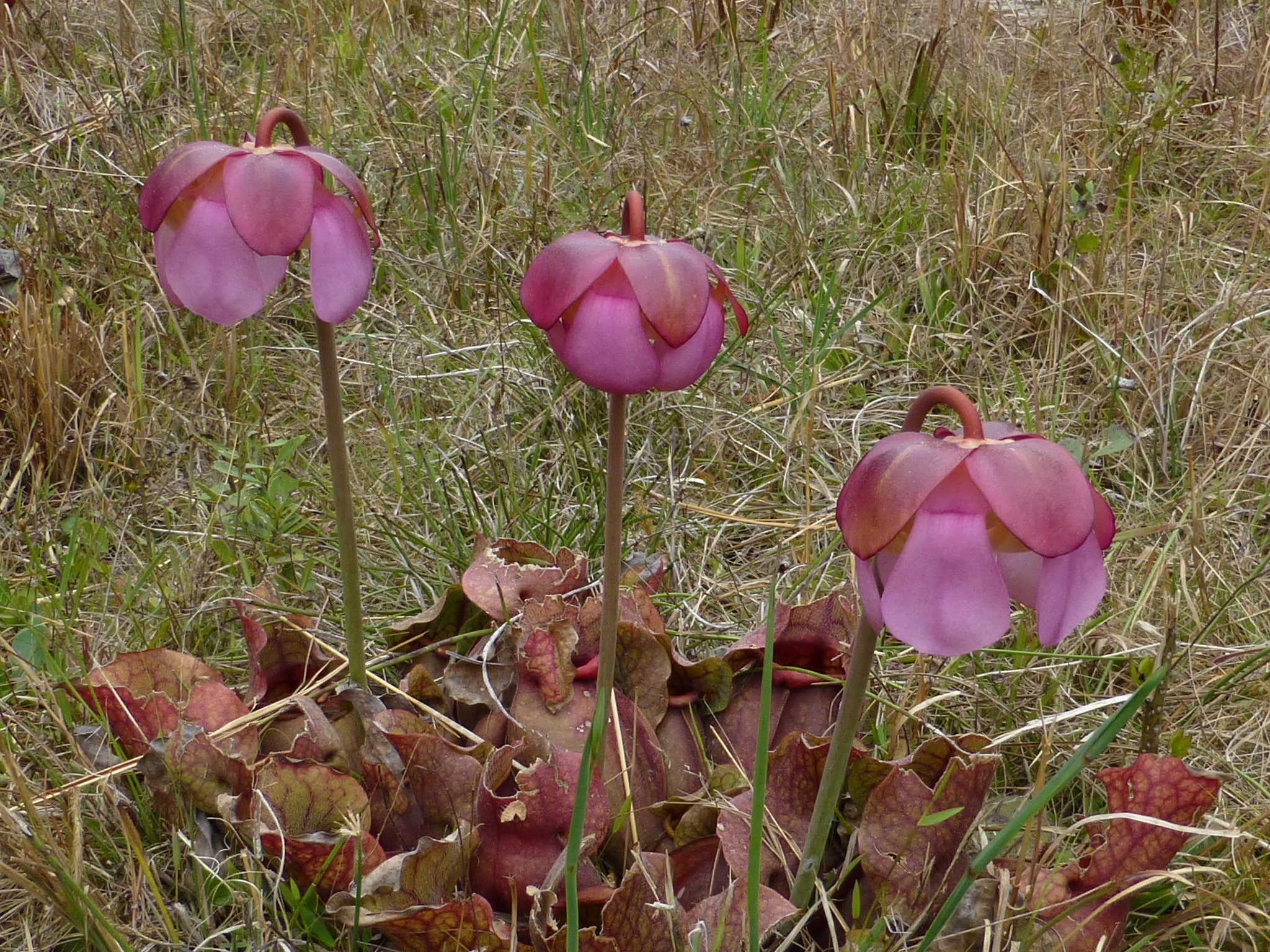 La Sarracenia rosea es pequeña y da flores rosas