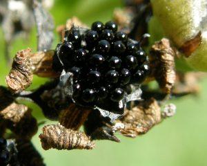 Las semillas de las carnívoras son pequeñas