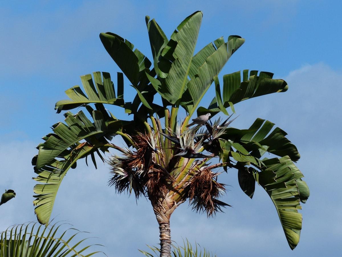 La Strelitzia nicolai es una planta arbórea