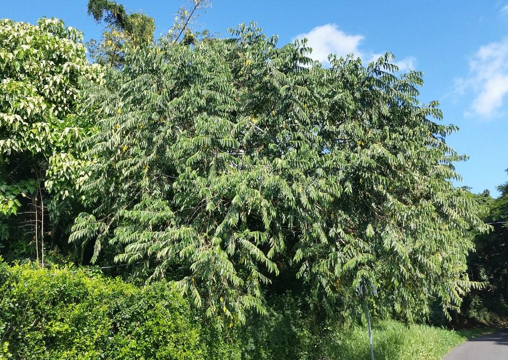 La Trema orientalis es un árbol de hoja perenne