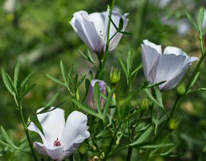 tres flores abiertas y una por abrir de la Piper methysticum