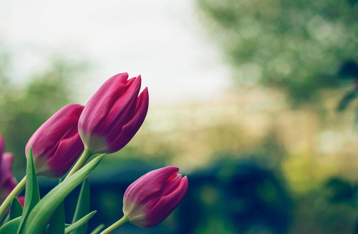 Los tulipanes florecen en primavera