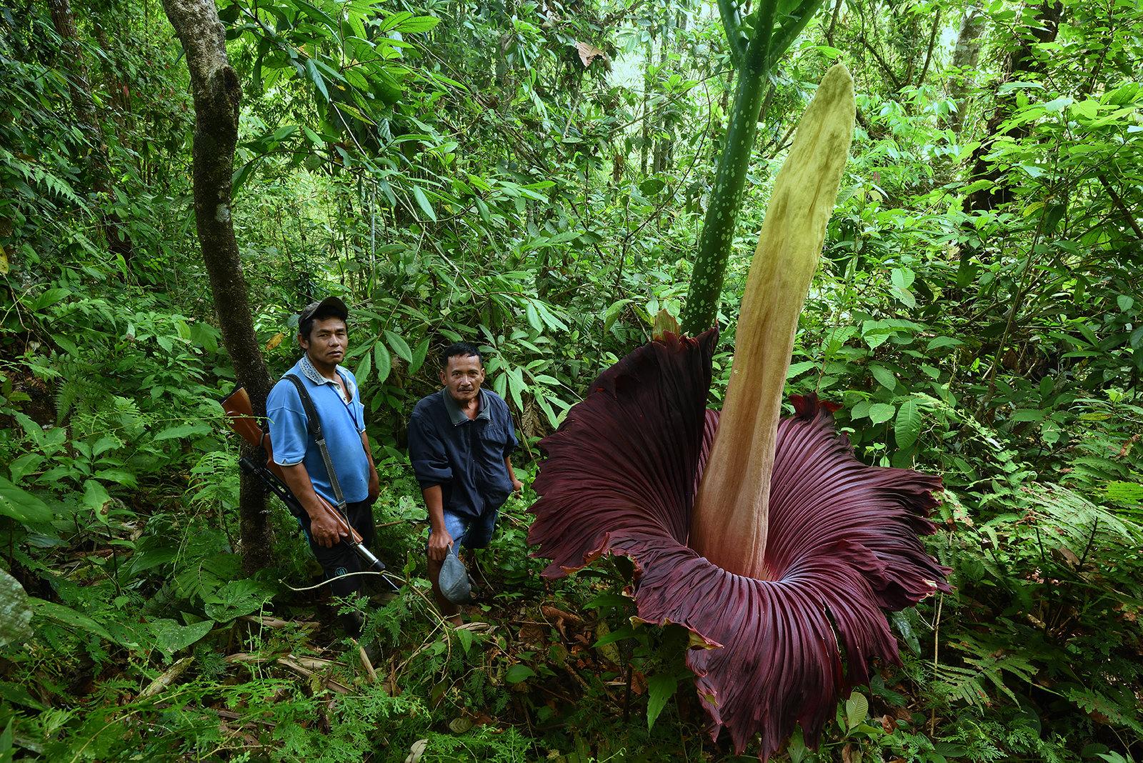 Inflorescencia de Amorphophallus titanum. Se aprecia el peciolo de la hoja detrás