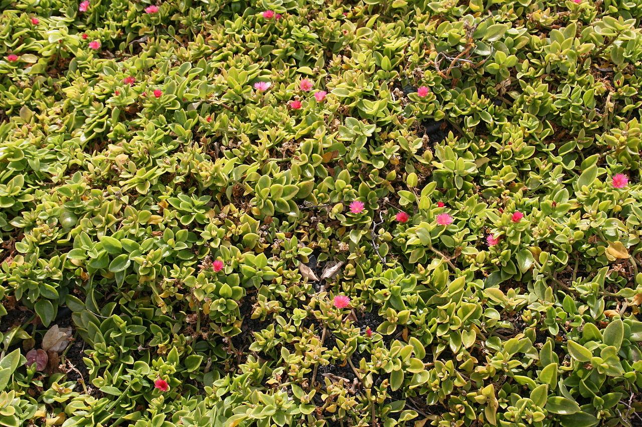 Aptenia cordifolia amarilleando por falta de agua