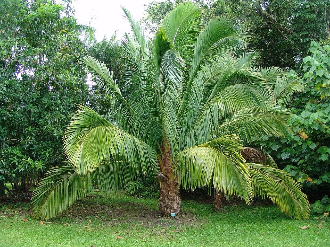 La Beccariophoenix alfredii es una palmera de hojas pinnadas
