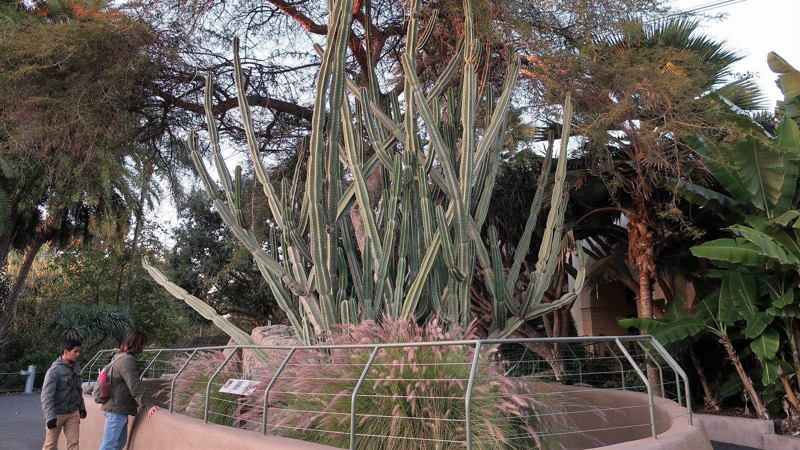 Cereus repandus, antes llamado Cereus peruvianus