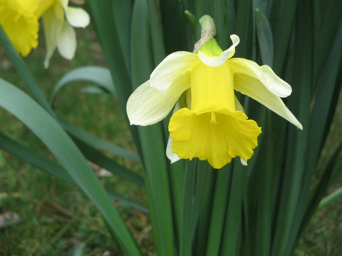 Flor del narciso