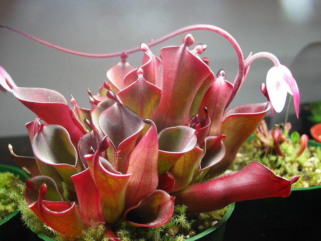 Las Heliamphora son plantas carnívoras delicadas