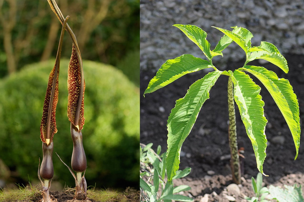 Flor y hoja de Sauromatum venosum